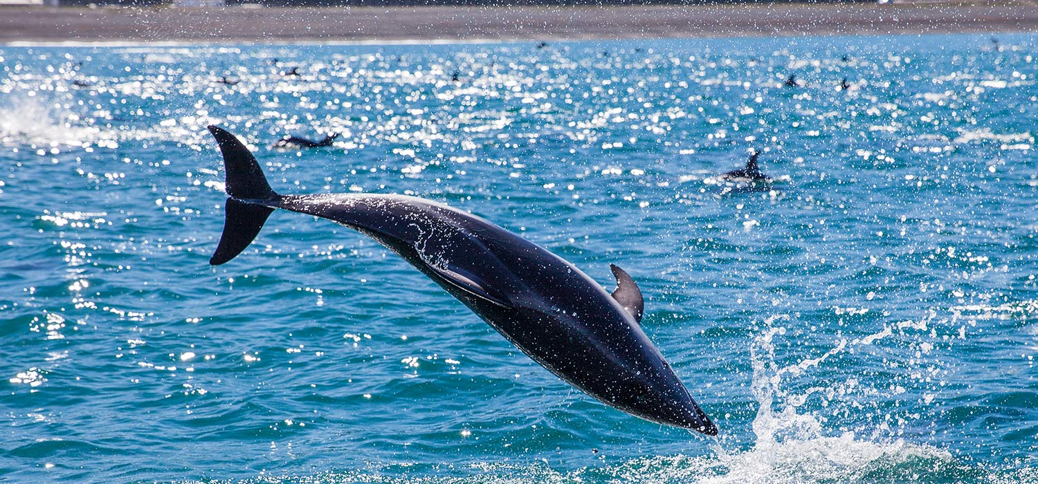 Up close with the dolphins, Kaikoura